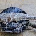 Mỡ chài nướng cá chai thơm lừng hấp dẫn 1